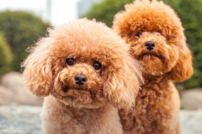 Two Miniture Poodles Starring at the camera.