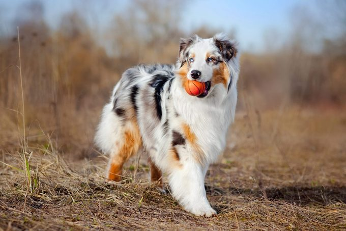 Australian Sheepdog holding small toy basketball in brown landscape