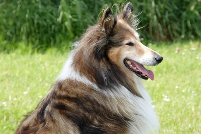 Side profile of Rough Collie with tongue sticking out