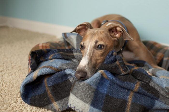 Italian greyhound relaxing on tartan blanket on floor