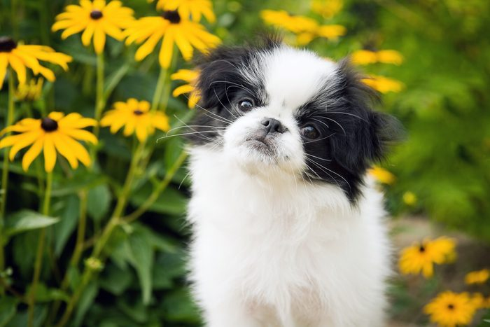 Photo of a Japanese Chin puppy sitting in a flower garden, looking at the camera with her head cocked to one side