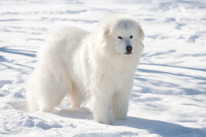 Great Pyrenees dog in winter standing on snowy ground