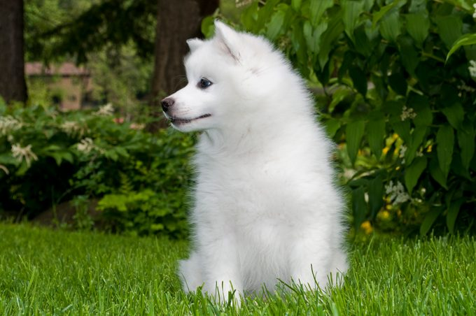 American Eskimo Puppy in the grass looking to the side