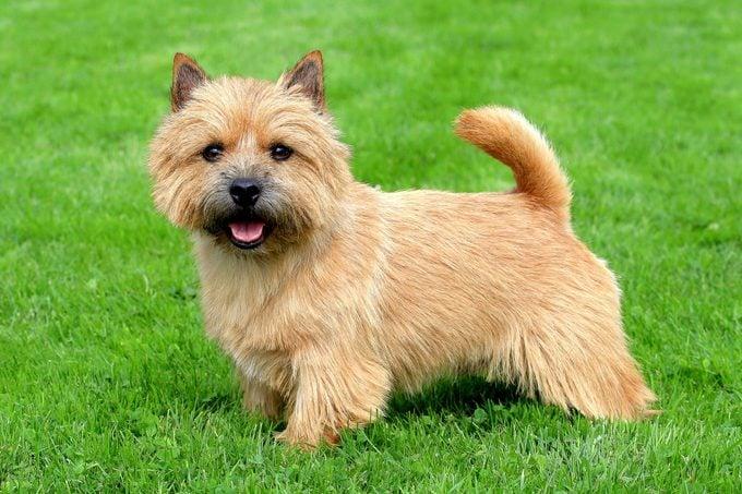 Norwich Terrier on a green grass lawn