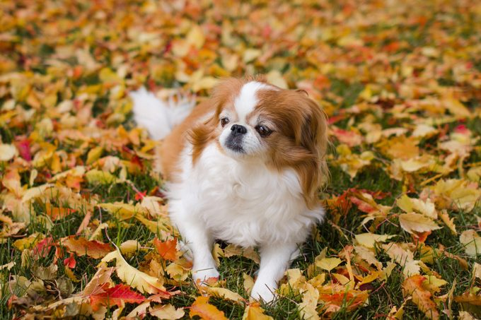 Japanese chin dog relaxing on fall leaves