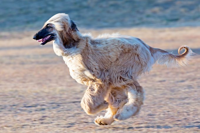 Afghan hound dog on the run in the air at the beach