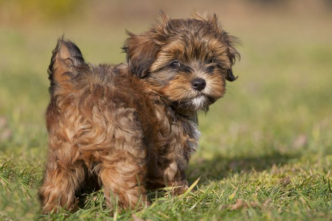 Havanese puppy looking back standing in the grass