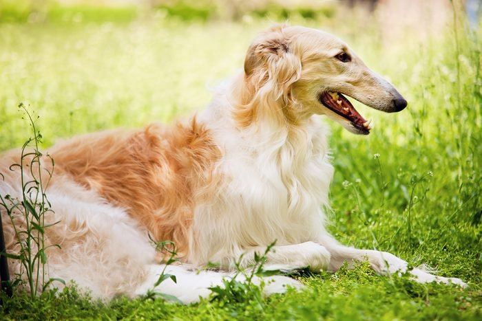 Borzoi (Russian Wolfhound) lying down in grass with mouth open