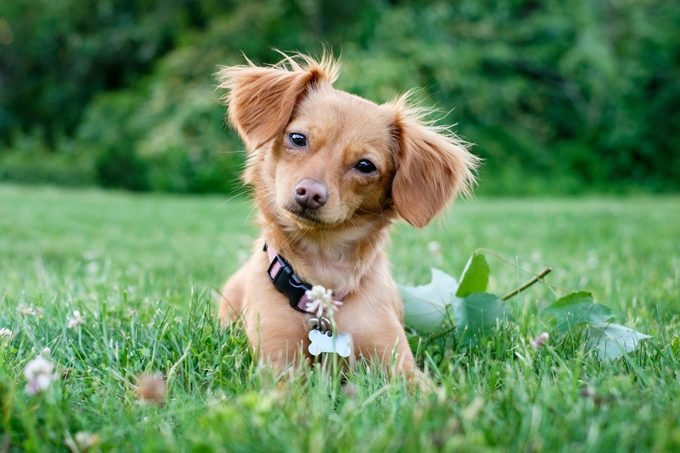 Dachshund Chihuahua Mixed Breed Chiweenie Dog Outdoors in the grass