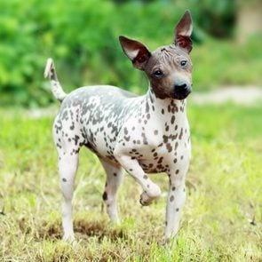American Hairless Terrier on green grass outside looking at camera