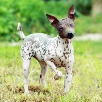 7 Hairless Dog Breeds That Make Great Pets