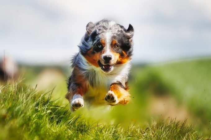 Border Collie running straight at camera. Shot taken outside on a sunny summer day.