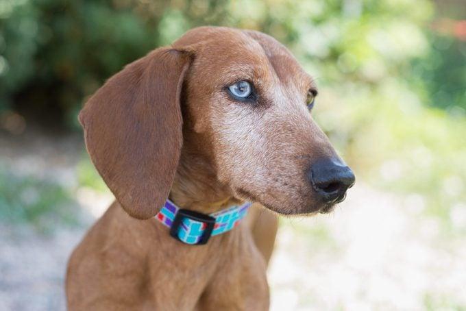 Old Dachshund Dog with blue eyes