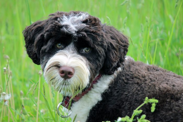 A black and white Portuguese Water Dog puppy in the grass looking at the camera
