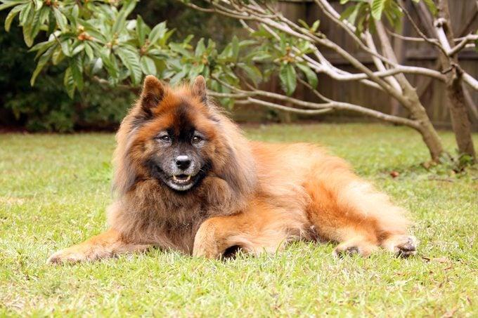 Beautiful senior Eurasier dog relaxing in the grass