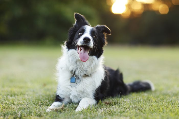 A happy border collie dog lays down on grass with its tongue out outdoors