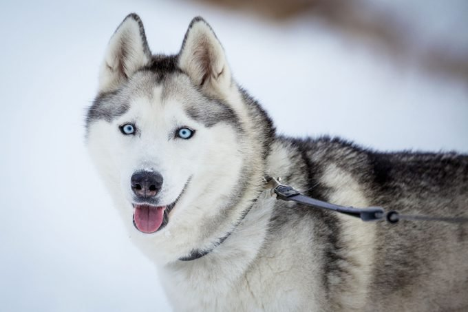 SIberian Husky with blue eyes outside in the snow