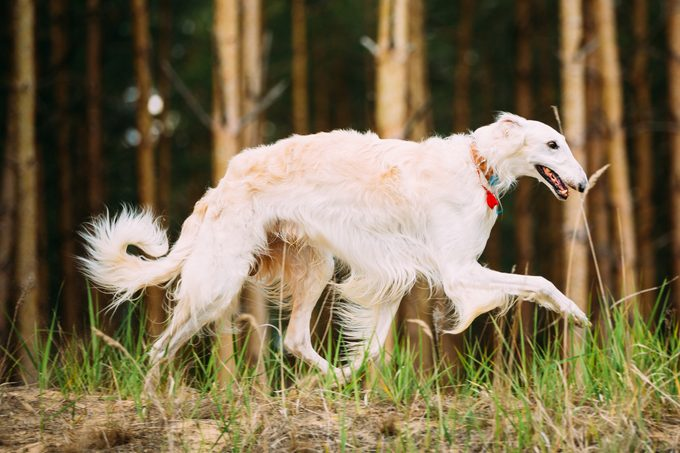 White Russian Borzoi - Hunting Dog Running In Autumn Forest.
