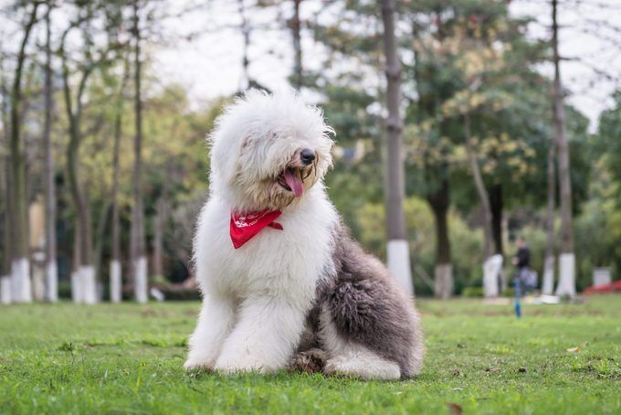 Old English Sheepdog with a red bandana outdoors on the grass