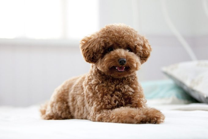 toy poodle sitting on a bed