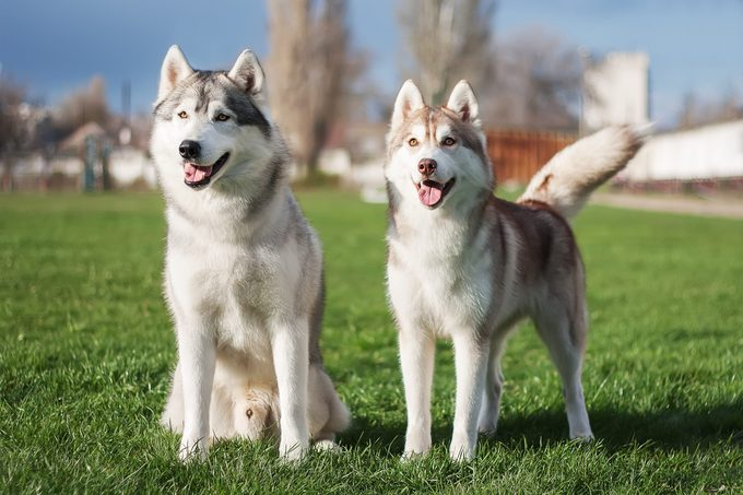 A pair of Siberian husky dogs stand on the green grass against the background of trees and a blue sky.