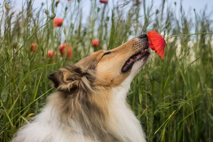Rough Collie sniffing a red poppy