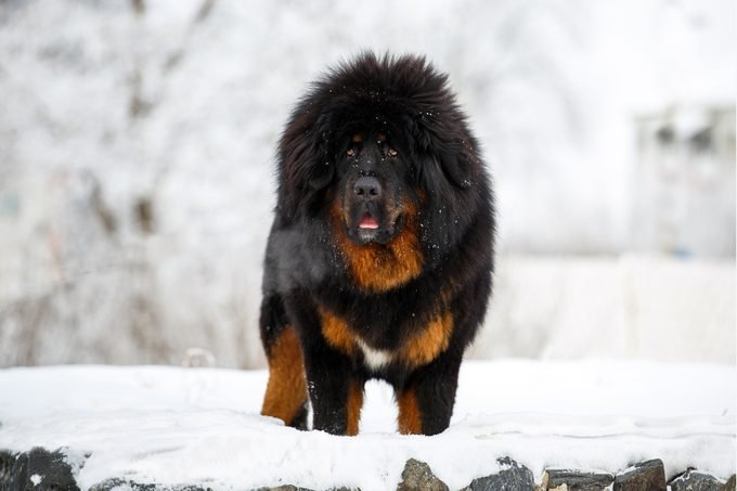 Beautiful Tibetan mastiff standing in a winter landscape