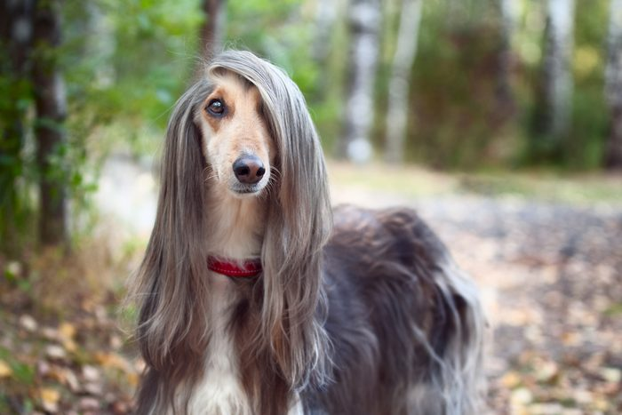 Afghan hound stands in the autumn forest and looks into the camera. A long bang closes her one eye.