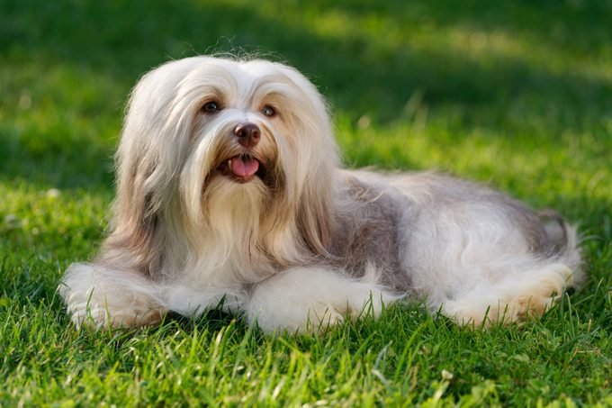 Cheerful chocolate colored havanese dog in the grass