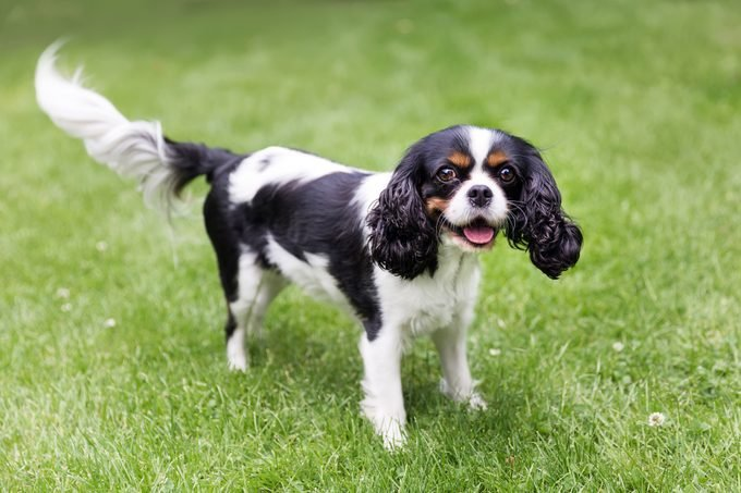 happy cavalier spaniel standing on the grass