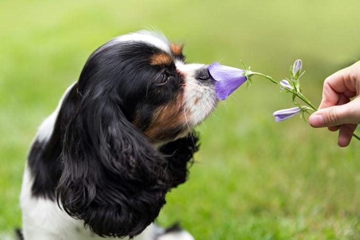 cute Cavalier King Charles spaniel smelling a purple flower