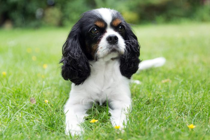 portrait of Cavalier King Charles spaniel laying on a lawn