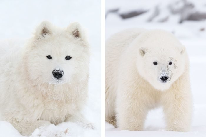 side by side of a dog and polar bear for comparison