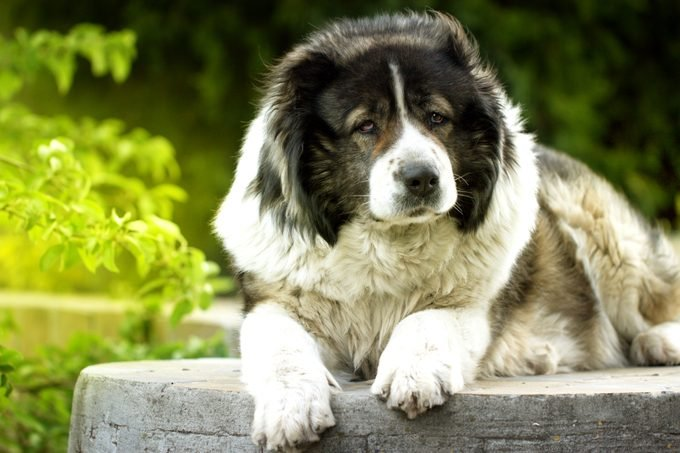 Caucasian Shepherd dog laying down outside