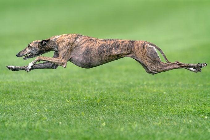 Greyhound Jumping Over Grassy Field
