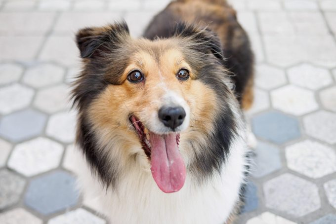 Shetland sheepdog standing on ground, looking at camera with mouth open, smiling expression.