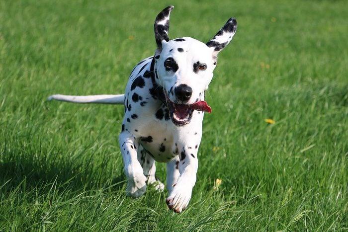 dalmatian dog running in the garden