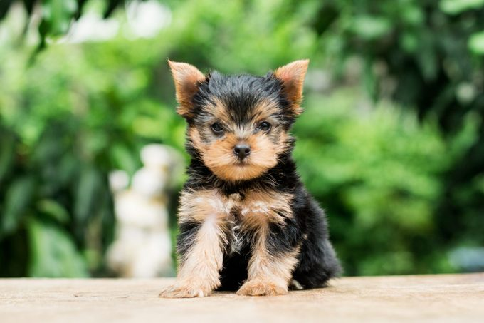 teacup yorkshire terrier sitting outside