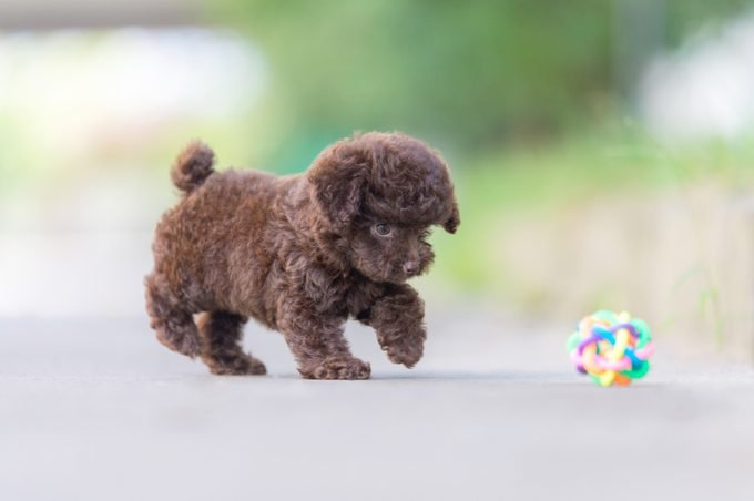 teacup poodle playing with a toy outdoors