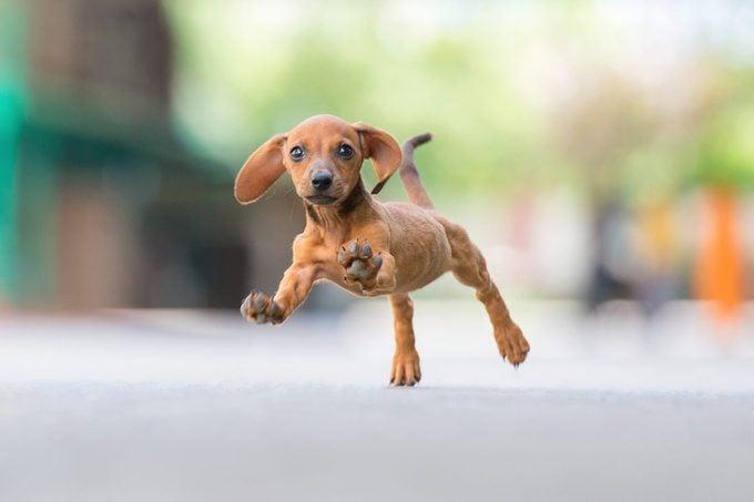 Happy sausagedog puppy