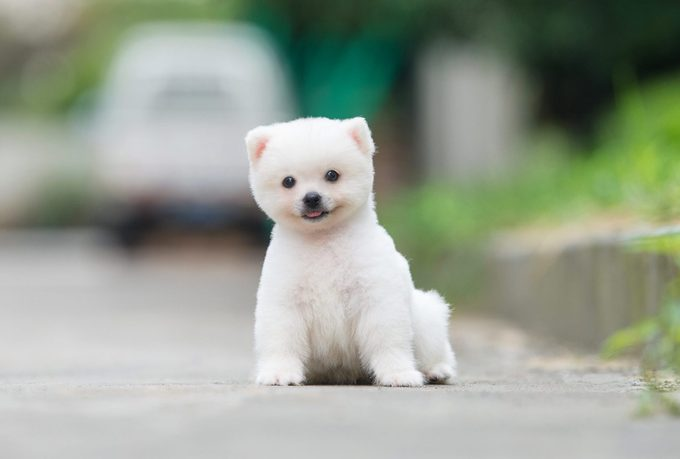 Small Pomeranian sitting in the street