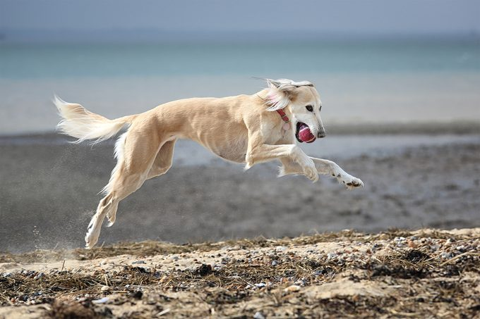 A white Saluki dog [Persian greyhound] running on the beach with a tennis ball in it's mouth