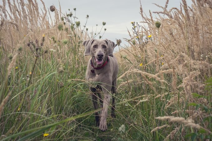 Weimaraner walking through tall grassy field