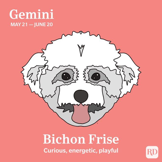 Gemini: Bichon Frise
