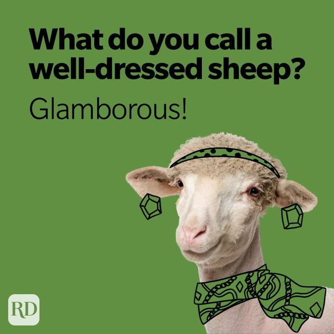 what do you call a well dressed sheep? glamborous