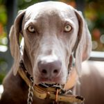 10 Adorable Dog Breeds with Beautiful Green Eyes