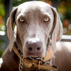 Weimaraner Dog with light eyes staring at the camera outdoors