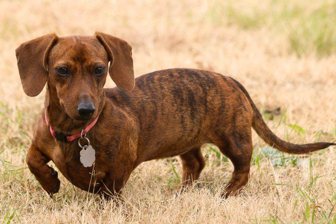 Red brindle dachshund