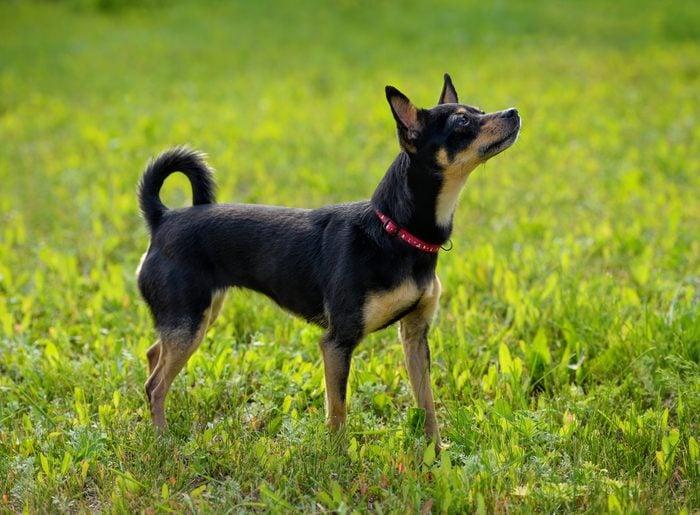 Russian Toy Terrier outside