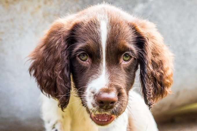 English Springer Spaniel Puppy laying down looking very cute
